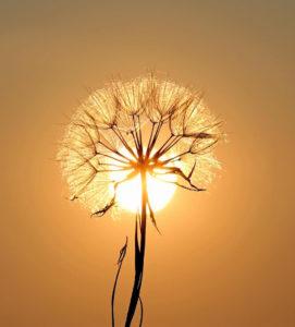 direction lumière photographie pissenlit coucher de soleil contre jour